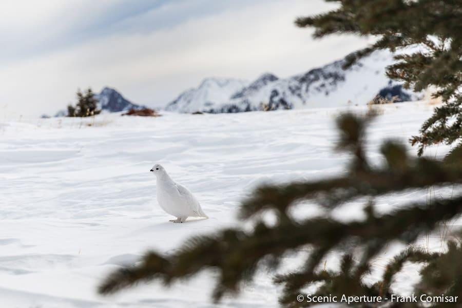 White-Tailed Ptarmigan: Colorado