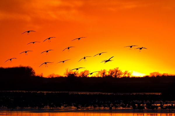 Sandhill Cranes – Nebraska Style