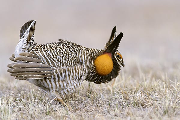 Greater Prairie Chicken – Nebraska Spring Ritual