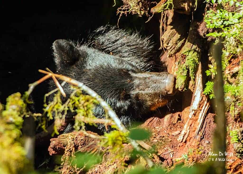 Black Bears in the Tongass Forest