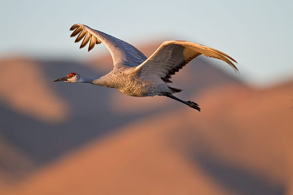 Bosque del Apache Sandhill Cranes and Snow Geese