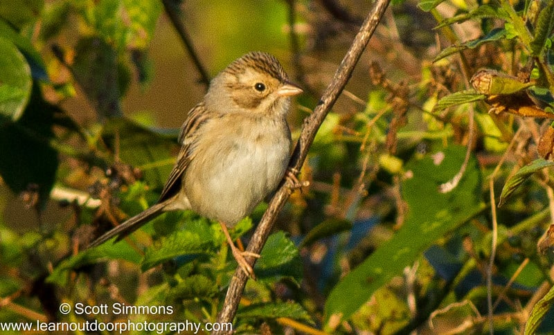 Clay-colored Sparrow on Canal St, 12/8/2015