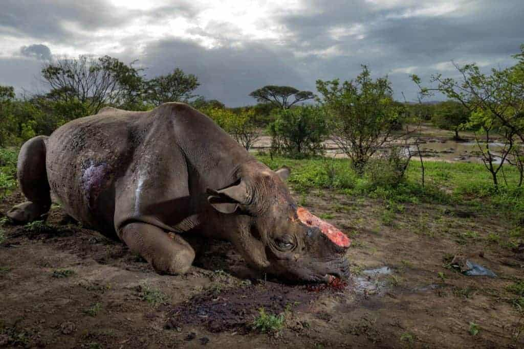 Special investigation: Inside the deadly rhino horn trade