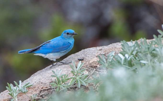 Mountain Bluebirds at Lassen Volcanic National Park