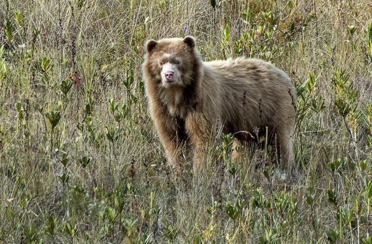 MTF 0409 golden spectacled bear %C2%A9michael tweddle