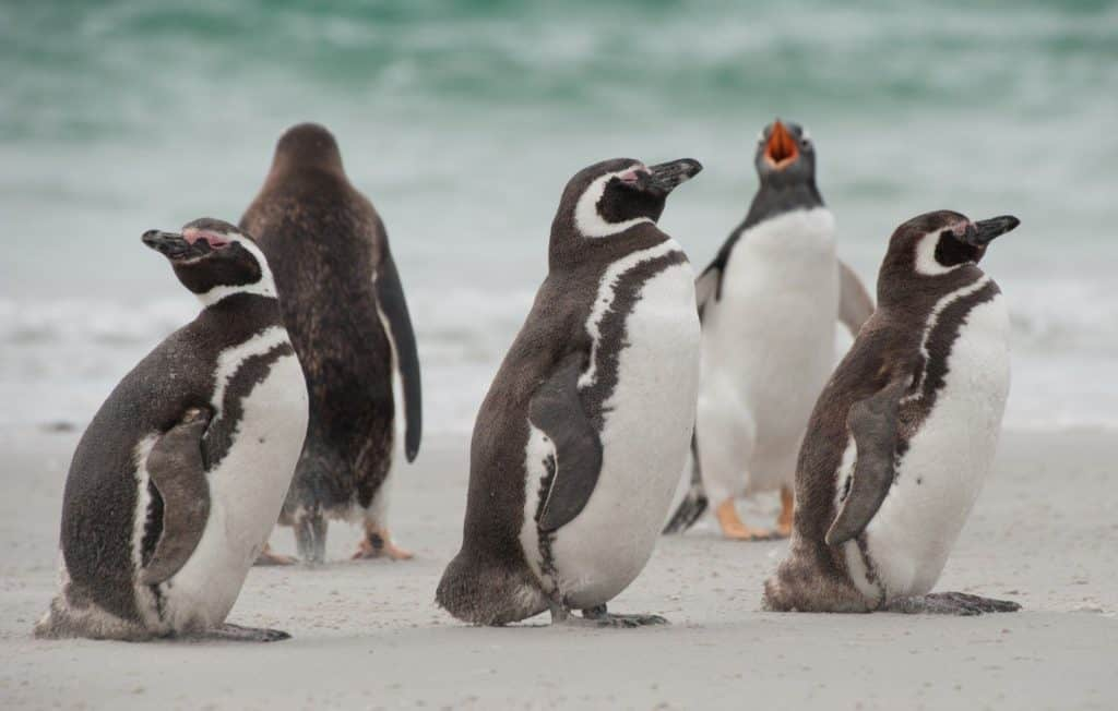 Protecting the penguins of Patagonia