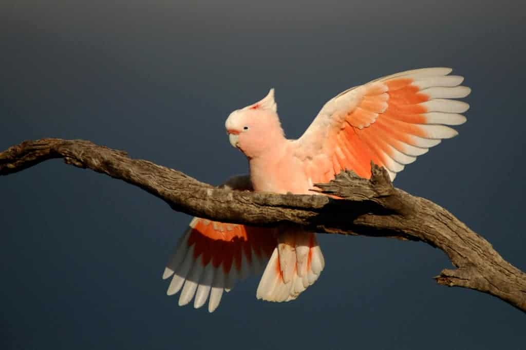 Study identifies parrots as most-threatened bird group
