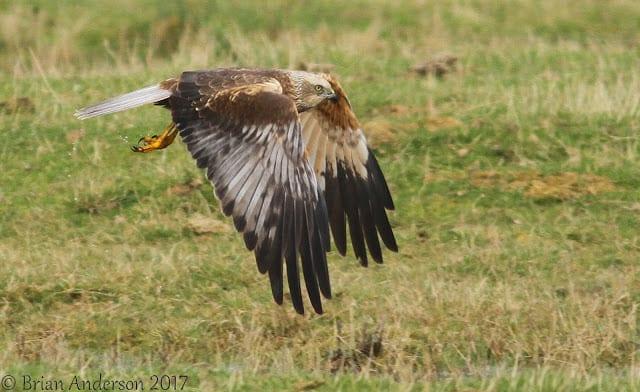 Marsh Harrier and Short-eared Owls at Elmley NNR
