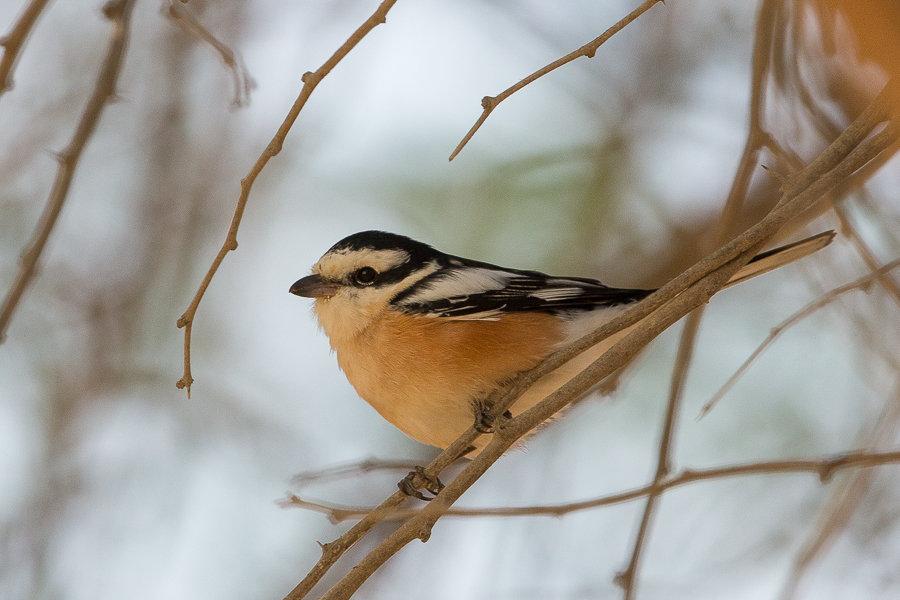 Wintering Masked Shrike still present – Deffi Park