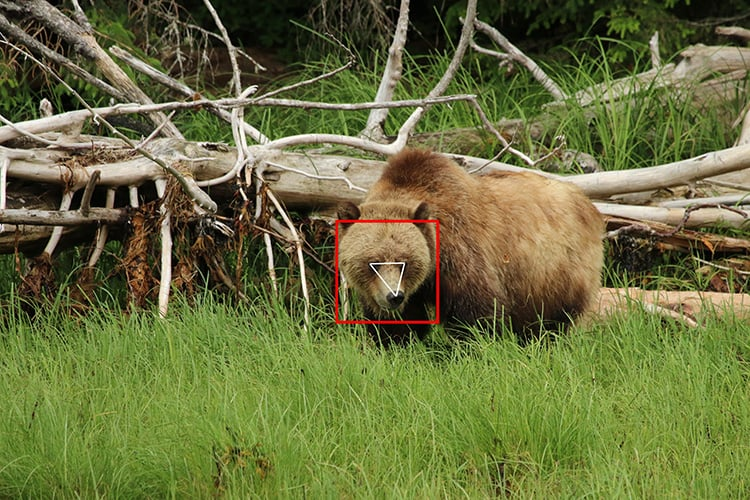 Snarl for the camera! An international team of scientists and software developers use facial recognition technology to identify individual grizzlies in the wild.