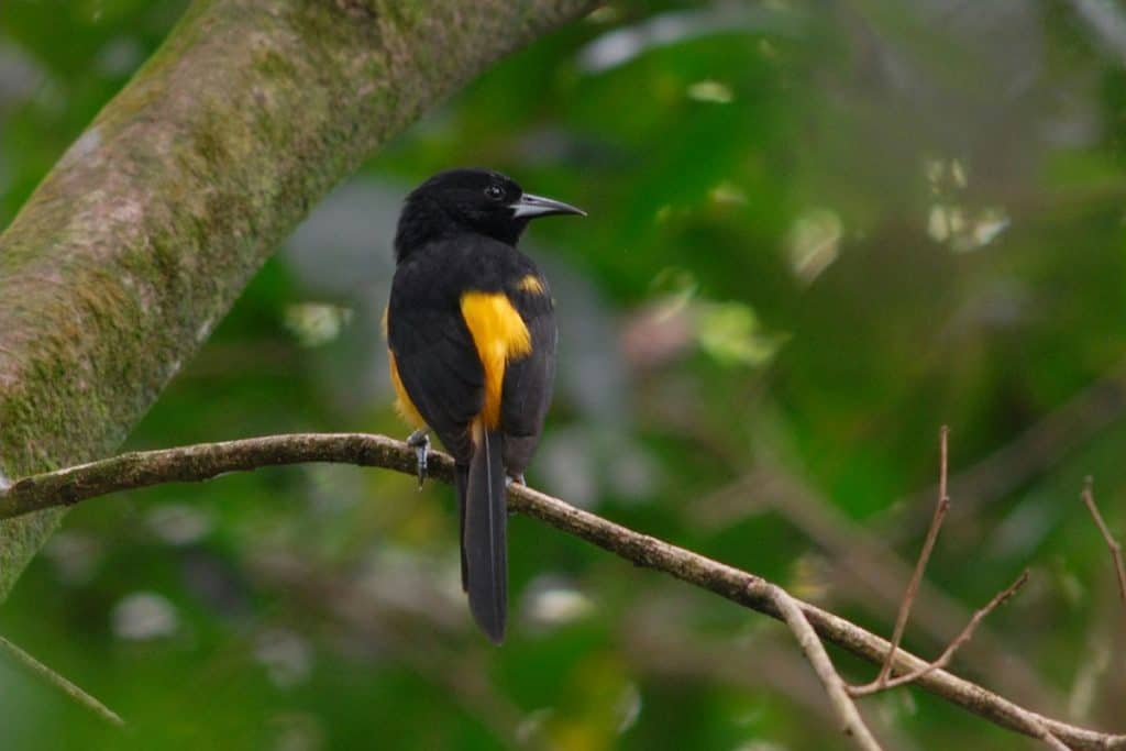 The Montserrat Oriole is no longer Critically Endangered