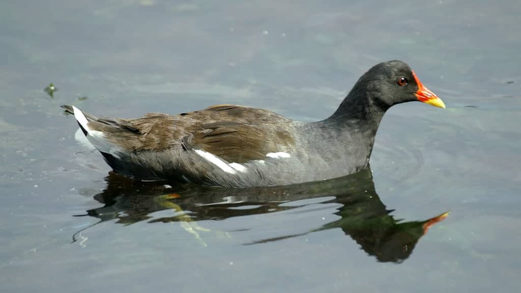 Birdwatch: Moorhen
