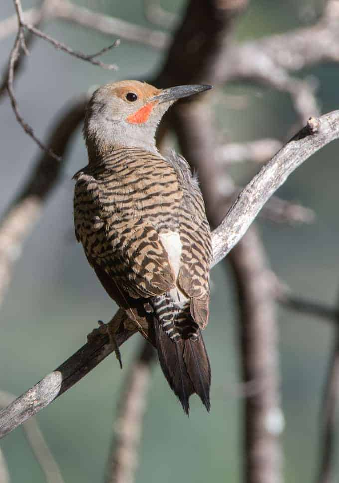 Northern Red-shafted Flickers and Nestlings