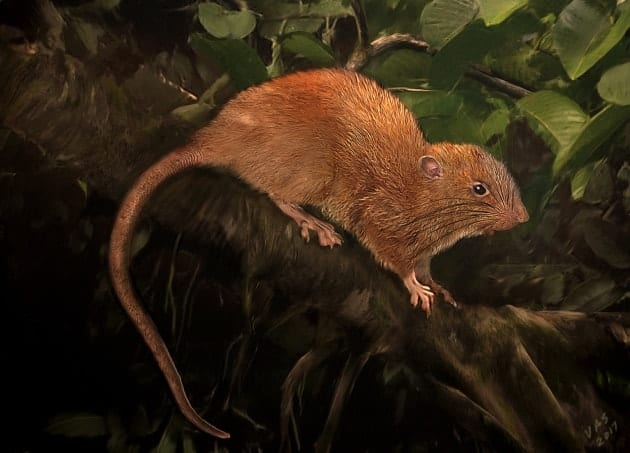 Giant tree-dwelling rat discovered in the Solomon Islands