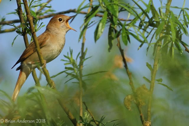 Nightingales in the valley