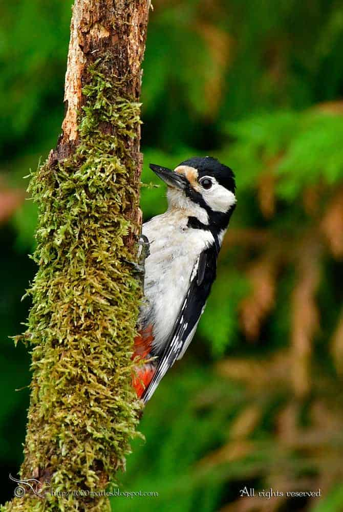 The Great spotted woodpecker family