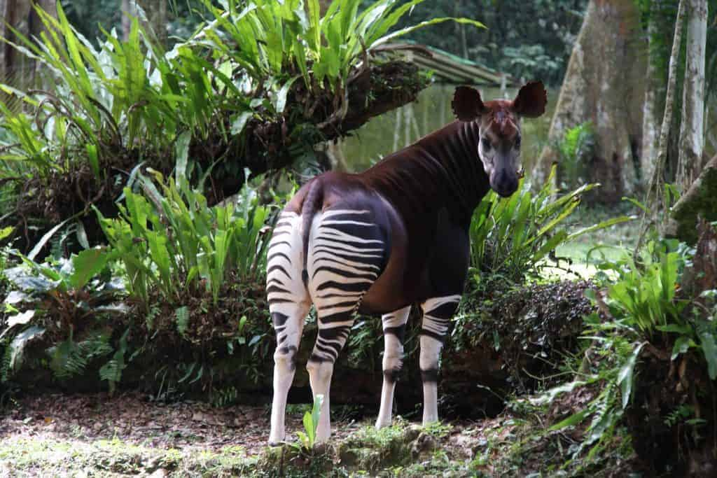 30 years of protecting the mysterious Okapi