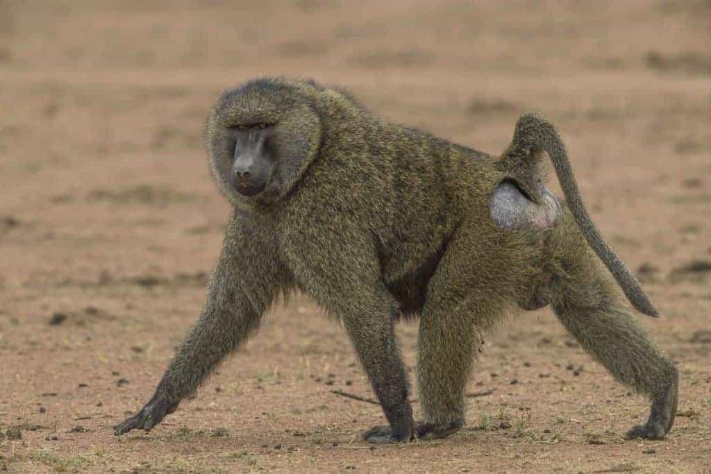 Serengeti primates