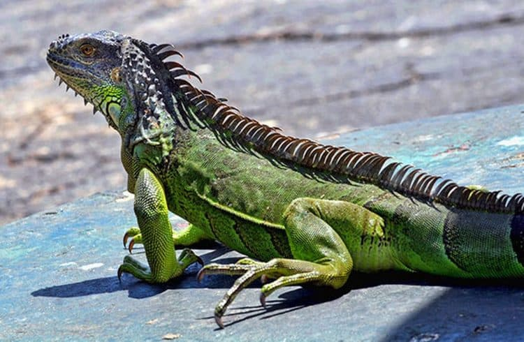 Florida iguanas hunted and killed for tacos and burritos: report