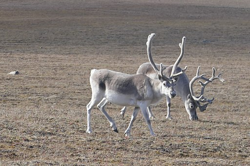 It's not just marine life that will be vulnerable to melting ice. So, too will terrestrial (land) animals such as the Peary caribou, known to migrate across the sea ice. Photo by Paul Gierszewski - Nunavut.