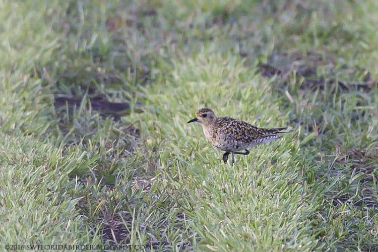 Pacific Golden-Plover At Everglades Agricultural Area