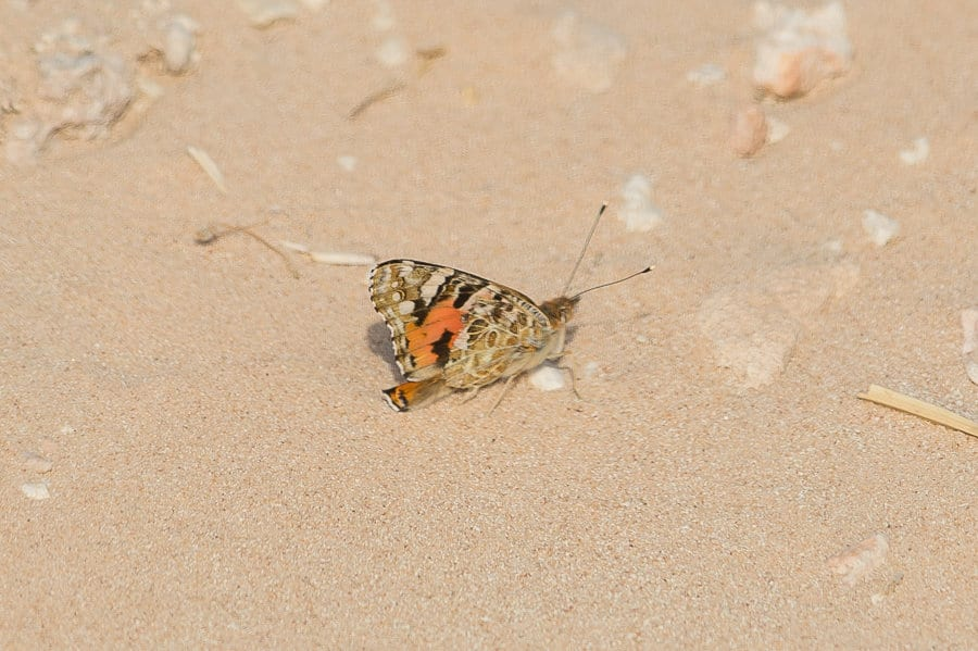 Painted Lady Butterfly – Dhahran Hills