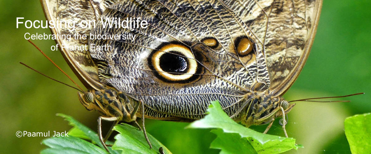 Pair of Owl Butterflies - Mating by Paamul Jack