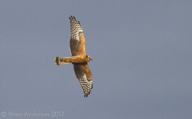 Pallid Harrier at New Holkham