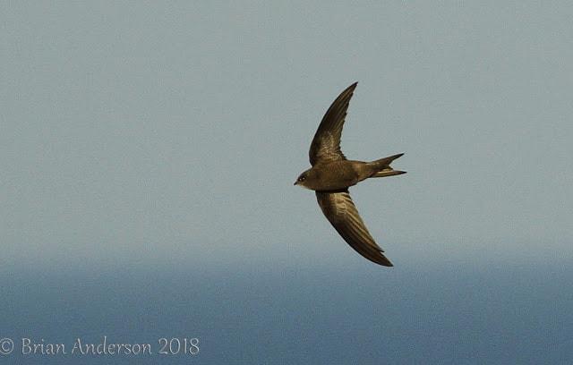 Pallid Swift at Overstrand