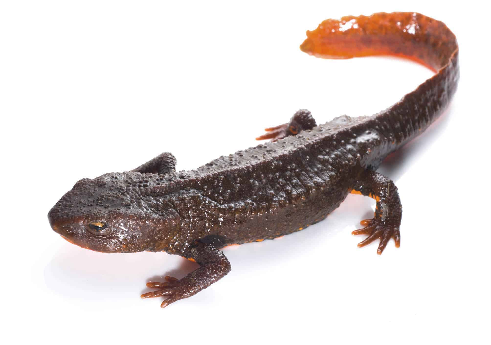 POLL: Should Southeast Asian newts be protected under CITES?