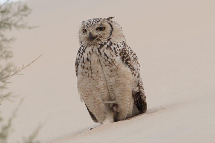 Breeding Pharaoh Eagle Owl – Jubail area