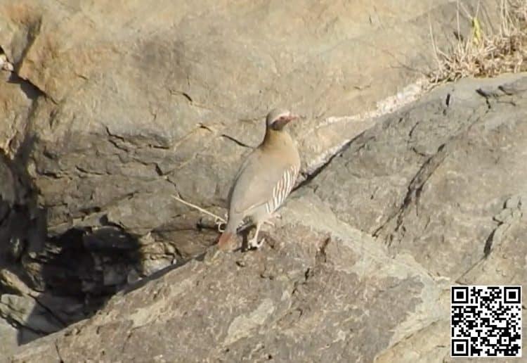 Philby's Partridge Alectoris philbyi