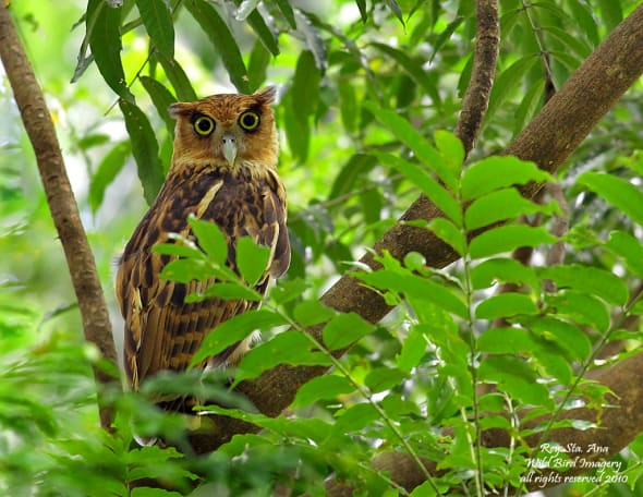 A family of the Philippines' biggest owl