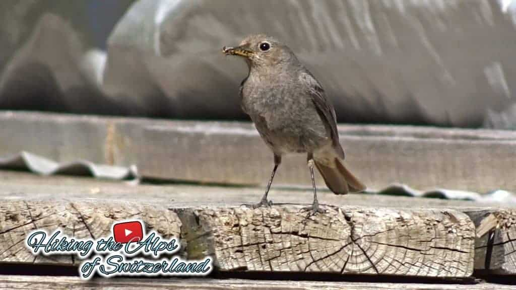 Female Black Redstart (Phoenicurus ochruros)