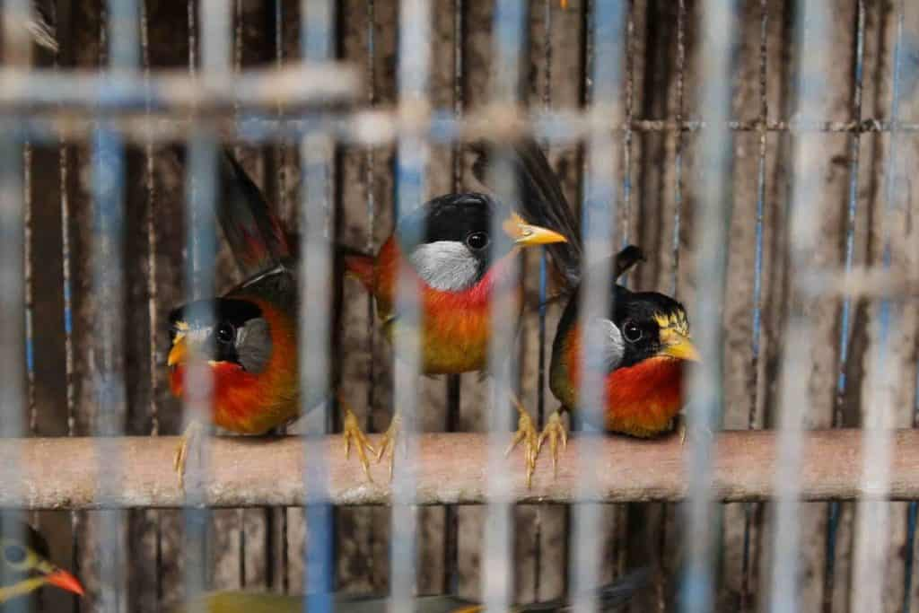 POLL: Should the wild bird trade in Vietnam be stopped?