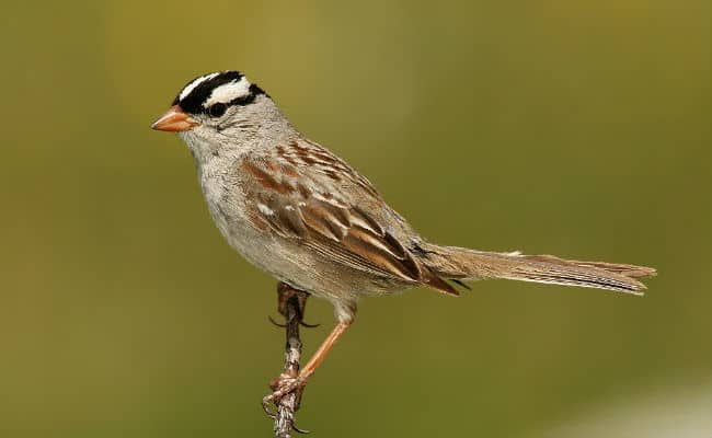 Neonicotinoids May Harm Migratory Songbirds Too