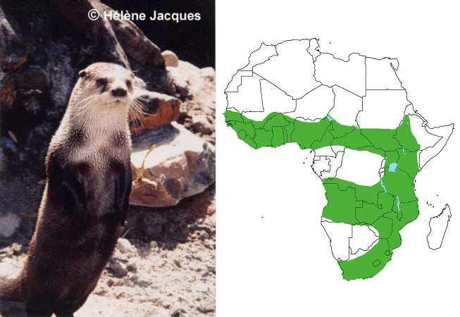 Distribution of African clawless otter