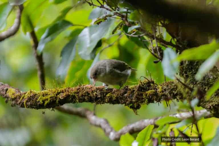 Hawaiian honeycreeper birds at risk of extinction from avian malaria