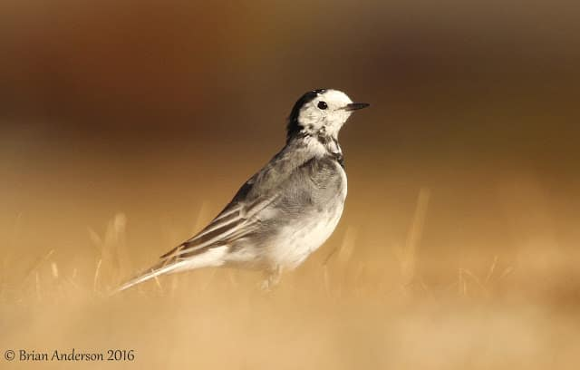 Wheatears and Wagtails at Landguard