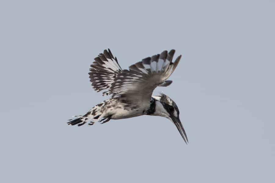 Pied Kingfishers – Jubail