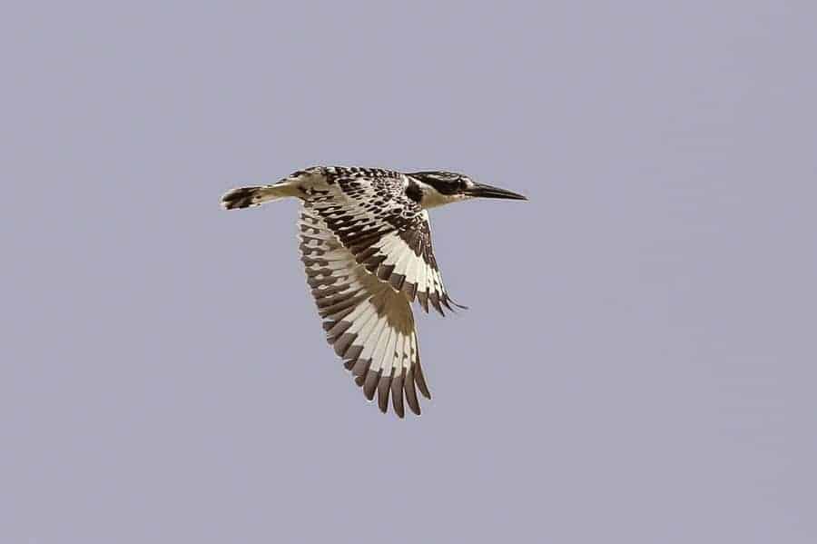 Pied Kingfisher – Sabkhat Al Fasl