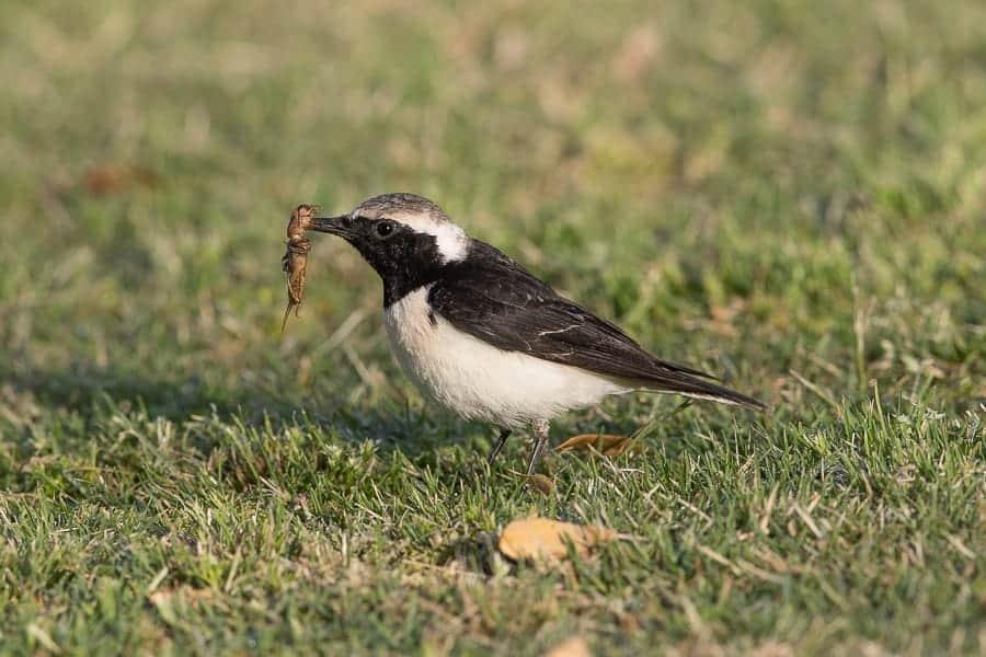 Pied Wheatear Eating Mole Cricket – Deffi Park