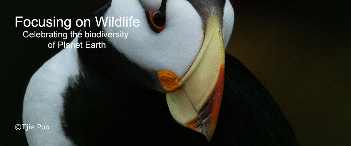 Portrait Horned Puffin by Tjie Poo