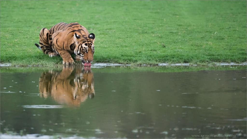 Wild Tigers of India – in Battle!