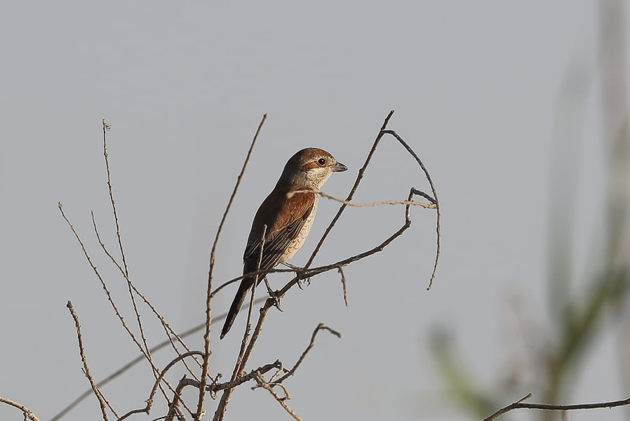Late Red-backed Shrikes – Jubail