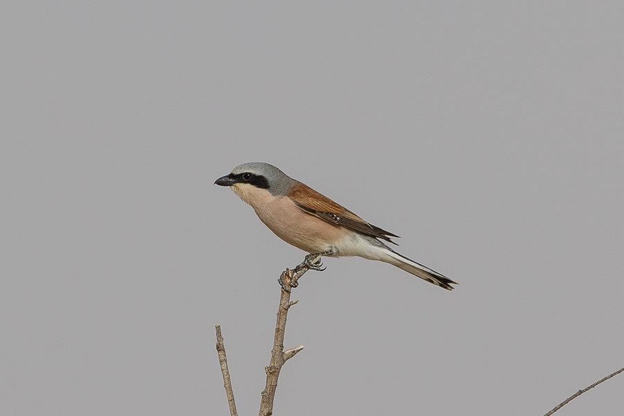 Spring birding – Ash Shargiyah Development Company Farm, Fadhili