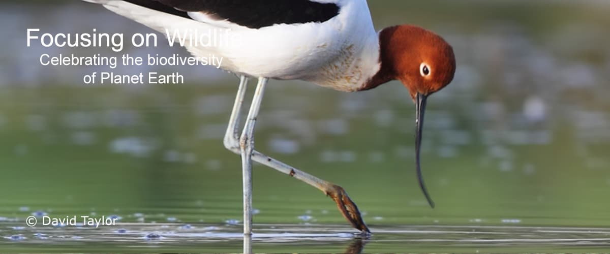 Red-necked Avocet Reflection by David Taylor