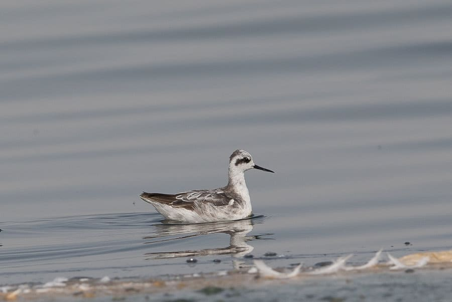 Two winter plumaged Red-necked Phalaropes – Jubail