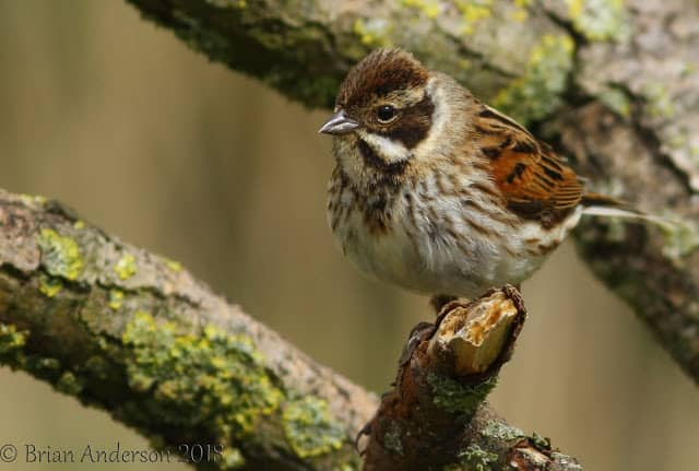 Lakenheath Haven for the Reed Bunting