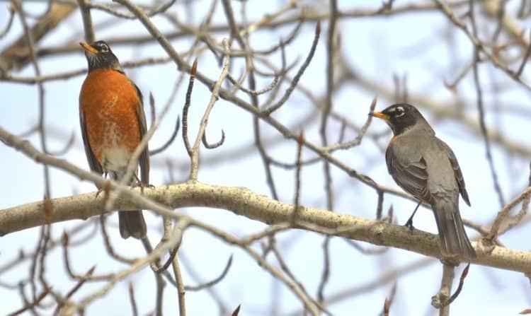 The American Robin(Turdus migratorious).